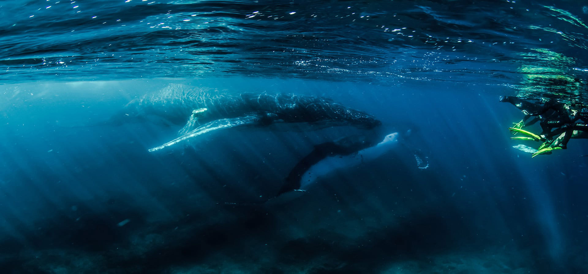 Humpback Whale Swimming Ningaloo